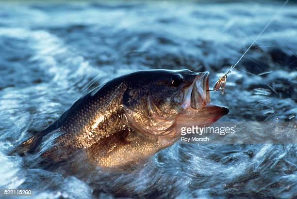catch of the day - largemouth bass stock pictures, royalty-free photos & images