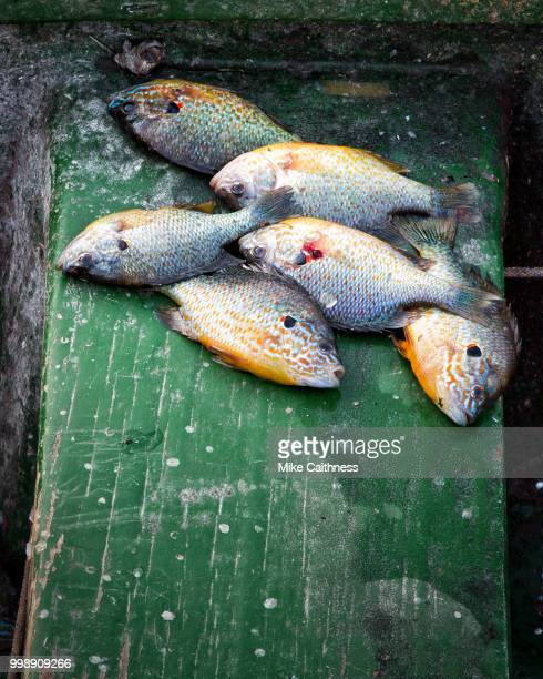catch of the day - mike caithness stock pictures, royalty-free photos & images