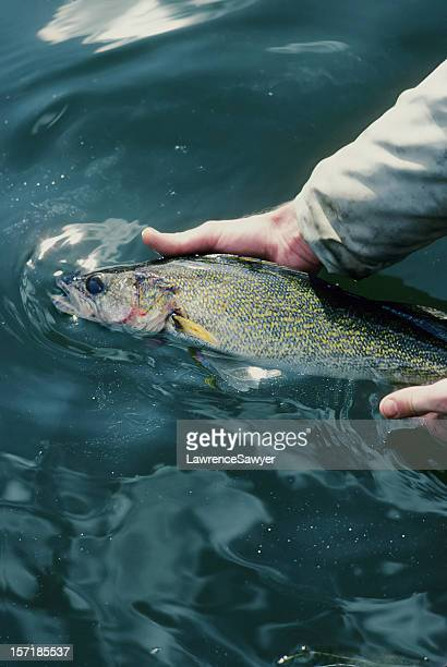 catch & release - pike fish stock pictures, royalty-free photos & images