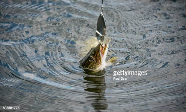 catching a northern pike (esox lucius) in a lake , danube delta, romania - pike fish stock pictures, royalty-free photos & images