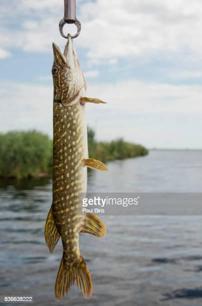 catching a northern pike (esox lucius) in a lake , danube delta, romania - hecht stock-fotos und bilder