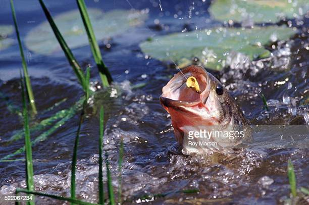 catching bass - largemouth bass stock pictures, royalty-free photos & images