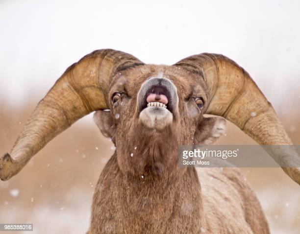 catching snowflakes - file:bighorn,_grand_canyon.jpg stock pictures, royalty-free photos & images