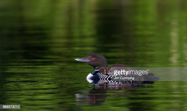 catching the red-eye - common loons - common loon stock pictures, royalty-free photos & images