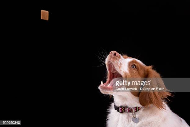 catching the treat - dog eating stock photos and pictures
