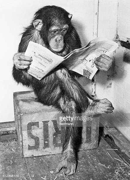 Catching Up on the News London England After a hard day at the London Zoo Fifi one of the chimpanzees scans the paper avidly from cover to cover With...