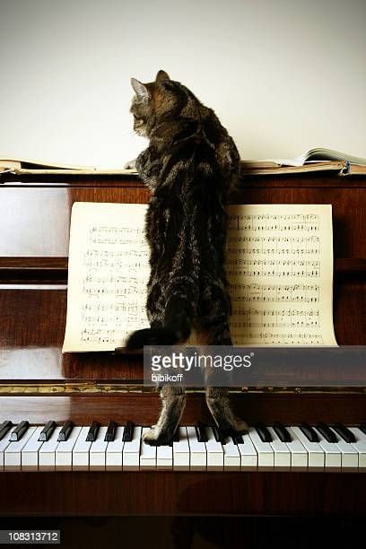 cat-composer - keyboard player stock photos and pictures