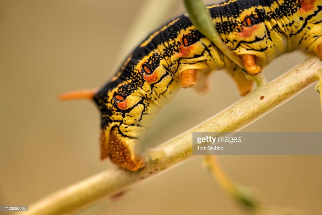 Caterpillar Crawl : Stock Photo