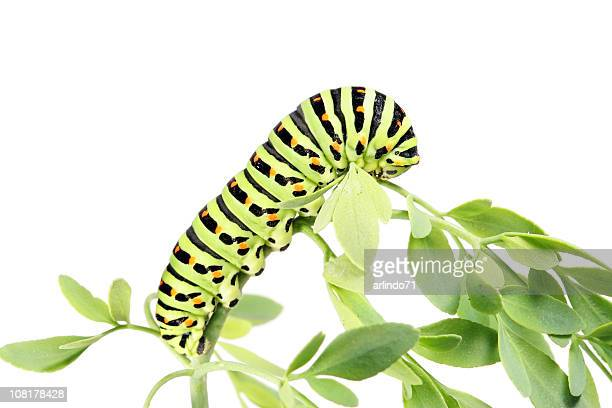 Caterpillar Crawling Plant Leaves, Isolated on White