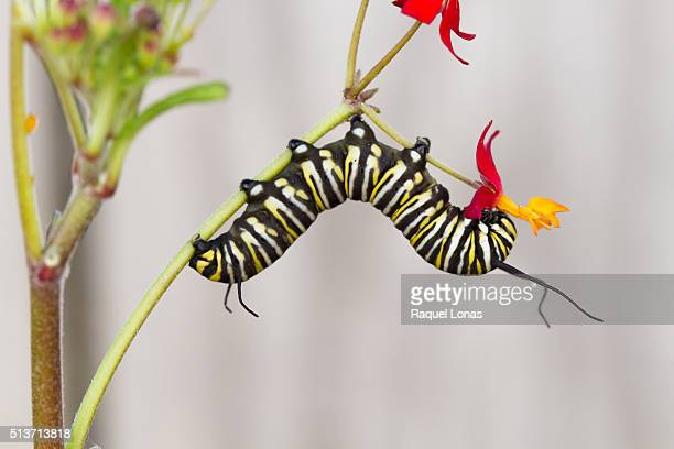 Caterpillar eating flowering plant