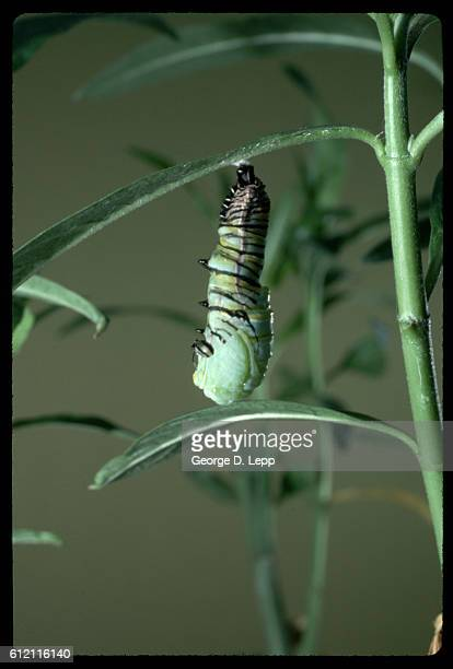 Caterpillar Hanging From Milkweed
