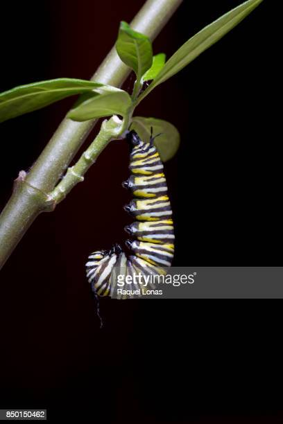 "caterpillar hanging upside down in a ""j"" shape - arthropod stock pictures, royalty-free photos & images"