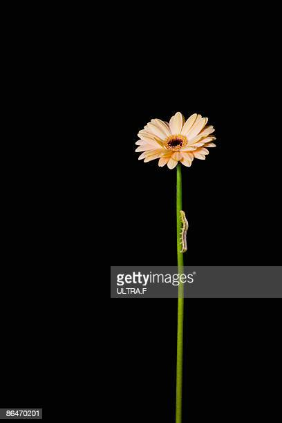 A caterpillar is climbing up the flower.