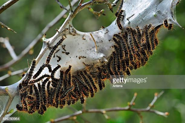 Caterpillar larvae of Small eggar moth living gregariously in silken web on hawthorn La Brenne France