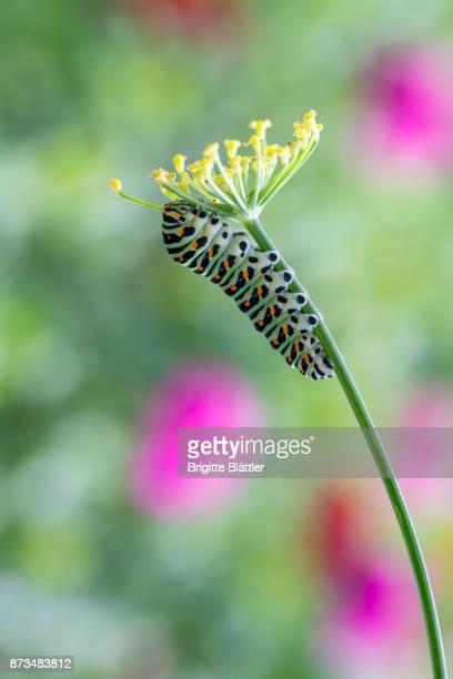 Caterpillar of a Swallowtail