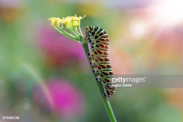 caterpillar of a swallowtail - caterpillar stock pictures, royalty-free photos & images