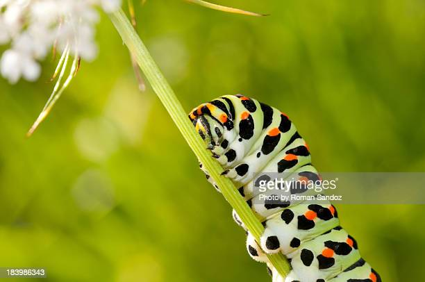 Caterpillar of an Old World Swallowtail (Papilio m