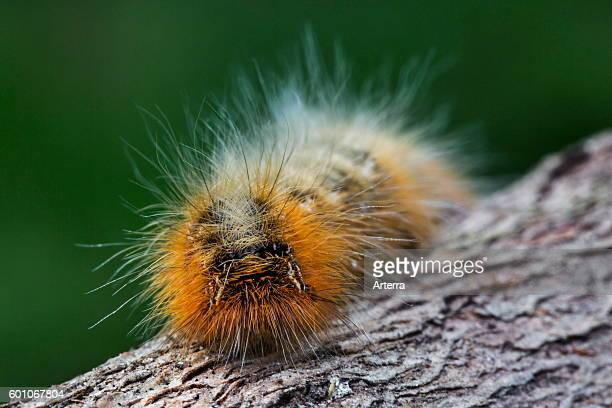 Caterpillar of the drinker moth