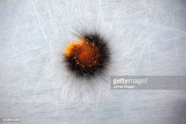 caterpillar on silver background - hairy balls stock photos and pictures