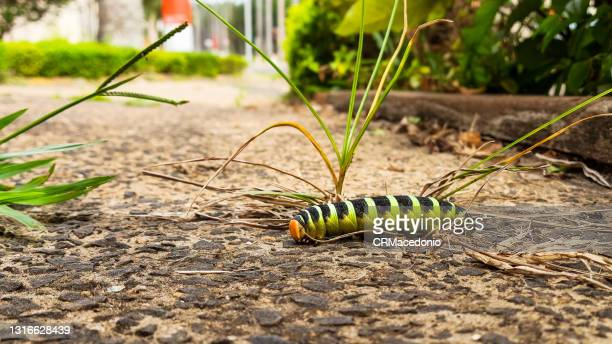 caterpillar - crmacedonio photos et images de collection
