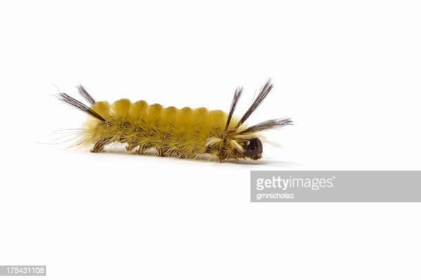 caterpillar - caterpillar stock pictures, royalty-free photos & images