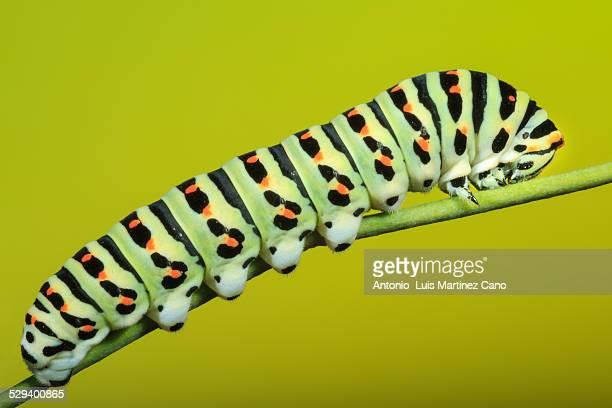 Caterpillar profile