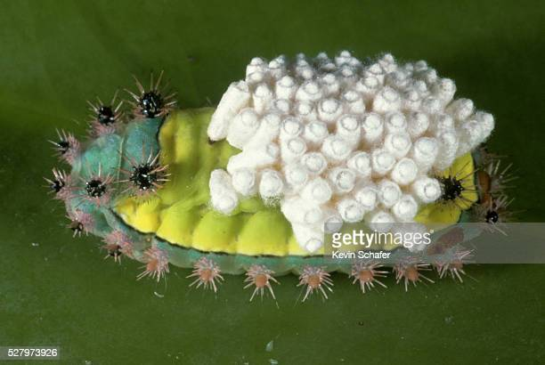 Caterpillar With Parasitic Wasp Eggs