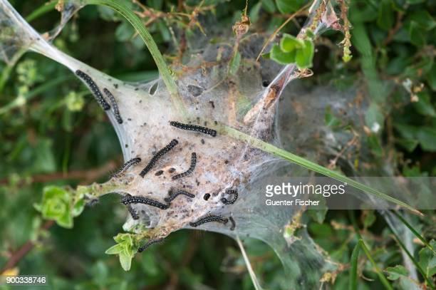 Caterpillars of a moth (Eriogaster arbusculae), Val de Bagnes, Valais, Switzerland