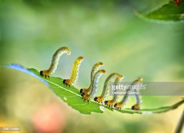 caterpillars walking on leaf - pop stockfoto's en -beelden
