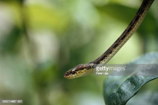 Cat-eyed Snake (Leptodeira septentrionalis), close-up