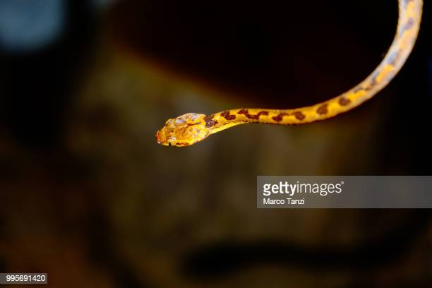 cat-eyed snake - cat snake stock photos and pictures