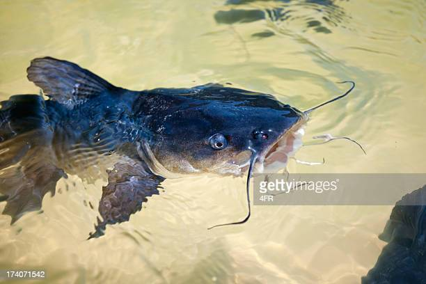catfish at lake wabby, fraser island, australia (xxxl) - catfish stock pictures, royalty-free photos & images
