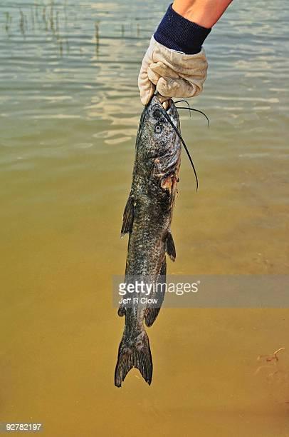 A Catfish Catch