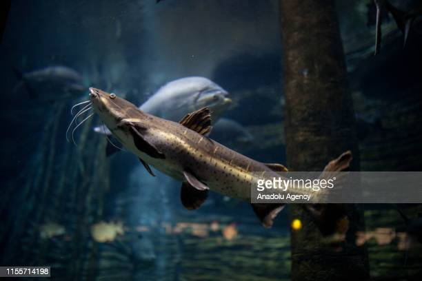 Catfish is seen at Colombia Country of Water Exhibition in Medellin, Colombia on July 13, 2019. A flooded Amazon rainforest reveals hidden...