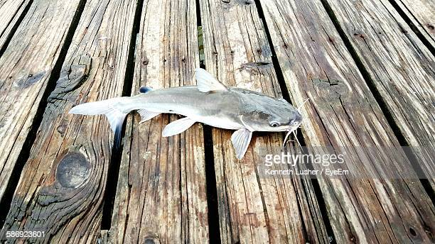 catfish on boardwalk - catfish stock photos and pictures