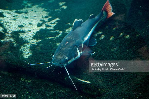 catfish - catfish stock pictures, royalty-free photos & images