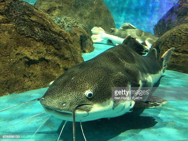 catfish swimming in tank - catfish stock pictures, royalty-free photos & images