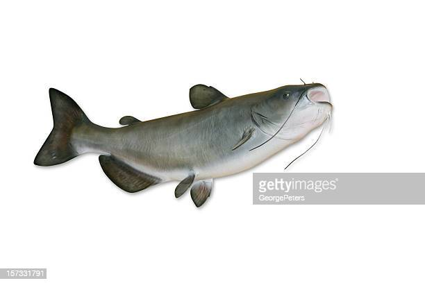 catfish with clipping path - catfish stock pictures, royalty-free photos & images