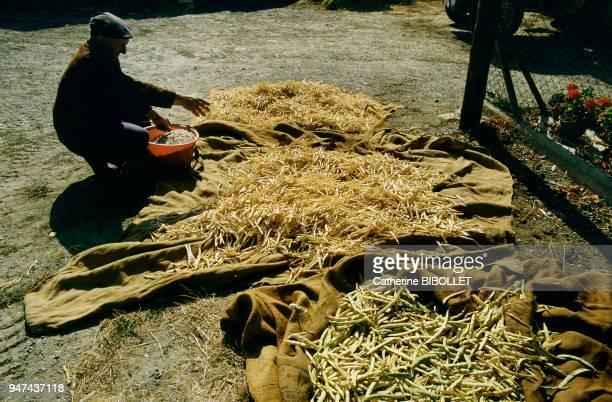 shelling beans for the cassoulet in Lauragais Pays Cathare le Lauragais Ecossage des haricots secs pour le cassoulet