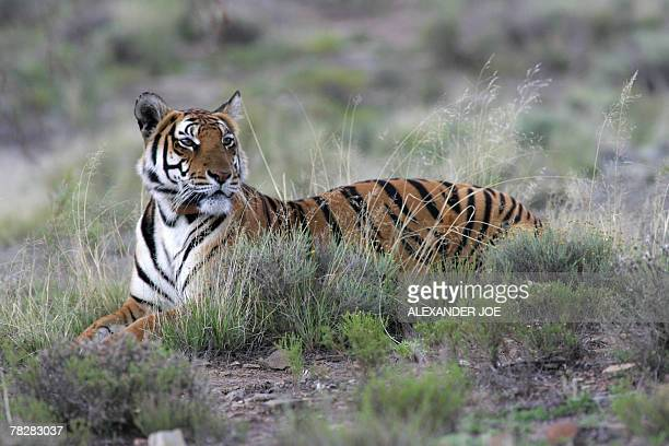 Cathay mother of a 13dayold South China tiger cub is pictured in Philippolis 06 December 2007 The cub is the first of his species to be born in...
