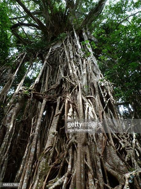 cathedral fig tree - atherton tableland stock pictures, royalty-free photos & images