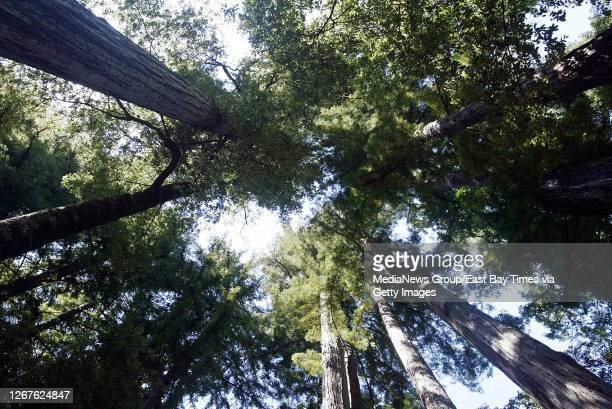 Cathedral of towering coastal redwoods, Sequoia sempervirens, await campers at this campground inside Big Basin Redwoods State Park on August 31,...