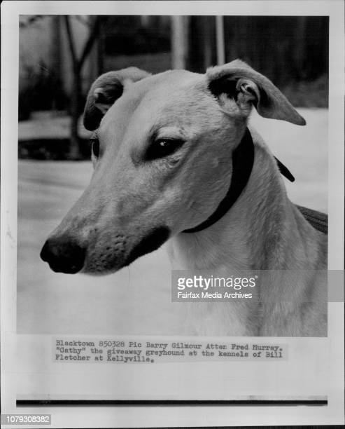 Cathy the giveaway greyhound at the Kennels of Bill Fletcher at Kellyville March 28 1985