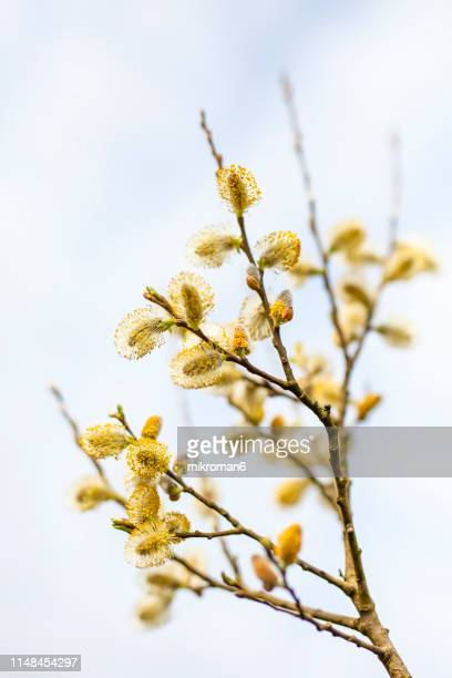 catkins on branch. first signs of spring - april stockfoto's en -beelden