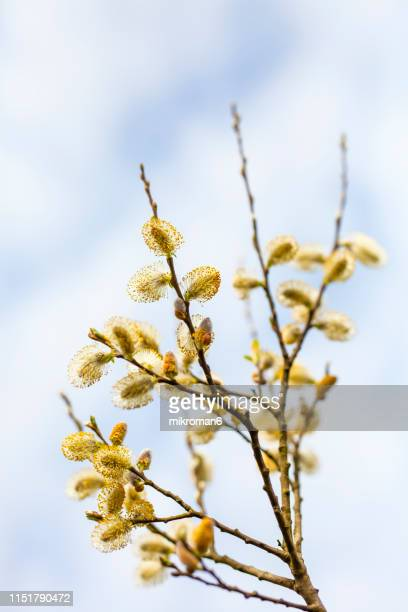 catkins on branch. first signs of spring - februar stock-fotos und bilder