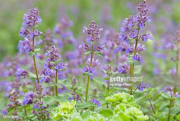 catmint / catnip, nepeta racemosa 'walker's low' - ii - catmint stock pictures, royalty-free photos & images