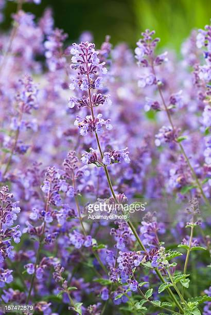 catmint / catnip, nepeta racemosa 'walker's low' - iv - catmint stock pictures, royalty-free photos & images