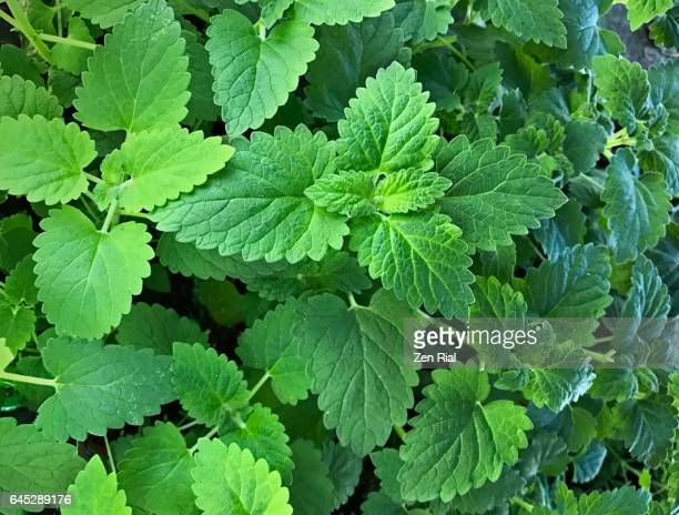 catmint - catnip plant- catswort - nepeta cataria - catmint stock pictures, royalty-free photos & images