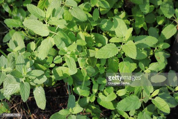 catmint herb plant (nepeta lamiaceae) - catmint stock pictures, royalty-free photos & images