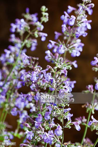 catmint, nepeta cataria, close up - catmint stock pictures, royalty-free photos & images
